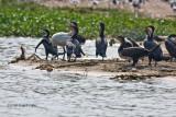 Great cormorant_9323