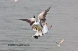 Greyheaded gull_9330