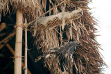 A wild cat and eagle in front of the new morung (young men´s house).