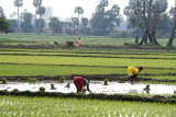 Paddy fields near Mamallapuram.