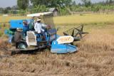 La moisson du riz