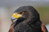 Harris's Hawk - Captive