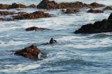 Sea Otter Eating Dinner