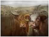 highland_cattle__kyloe
