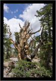 Bristlecone Pine, 3,200 years old and still going strong.