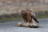 Common Buzzard on a roadkill