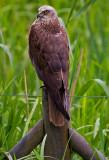 Wild Hawks