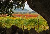 Vineyard through the Oaks*