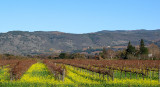 Early Mustard in the Vineyards!