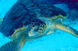 xcalak_turtles