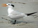 Gulls, Terns, Skimmer