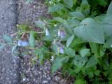 Mountain Bluebells: Mertensia ciliata
