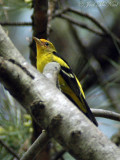 Western Tanager, Athens: 3Apr10