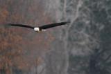 Eagle at Tuttle Creek.jpg