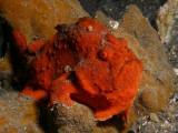 Frogfish11.JPG