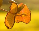 Lighted Honeysuckle Leaves