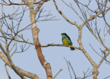 Black-faced-Dacnis / Yellow-tufted Dacnis
