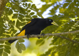 Yellow-rumped-Cacique.jpg