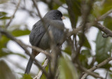 Plain-coloured-Seedeater.jpg