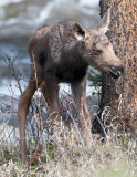 One day old moose calf