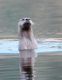 Curious Otter