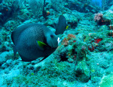 Gray Angelfish Pair