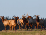 The Sequim Elk Herd