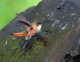 Rufous Hummingbird Bathing