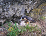 Peregrine Falcon , feeding her one week old eyasses