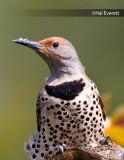 Northern Flicker, Female