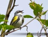 Myrtles Yellow Rumped Warbler