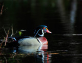 Wood Duck, Drake