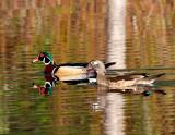 Wood Ducks 084.jpg