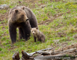 Grizzly Sow and One of  Her Two Cubs