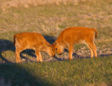 Bison Calves (Red Dogs)