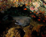 Freeswimming Moray Eel