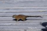 (Callosciurus orestes) Bornean Black-banded Squirrel