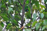 <i>(Psilopogon eximus)</i><br />*Bornean Barbet