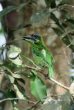 <i>(Psilopogon rafflesii)</i><br /> Red-crowned Barbet