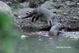 (Lutra perspicillata ) Smooth Otter