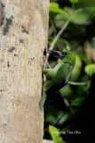 (Psilopogon mystacophanos)Red-throated Barbet ♀