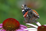 Red- Admiral
