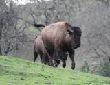 Buffalos on the run