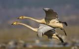 Sångsvan - Whooper swan (Cygnus cygnus)