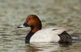 Brunand - Common pochard (Aythya ferina)