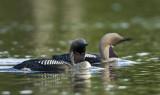 Storlom - Black-throated diver (Gavia arctica)