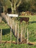 Vegetable garden extension hedge, December 2009