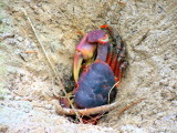 Red crab - bad camouflage