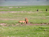 Ngorongoro lionesses drink water