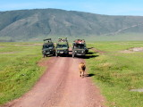 Ngorongoro: and then completely indifferent to his audience here